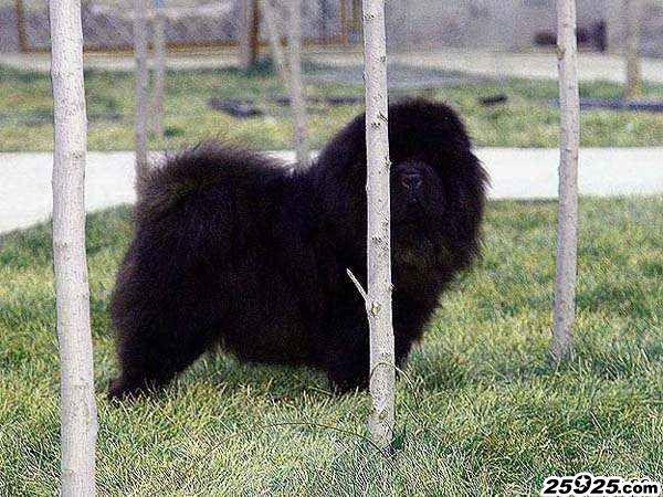 黑狮 美系黑色松狮犬 松狮犬图片 松狮图片