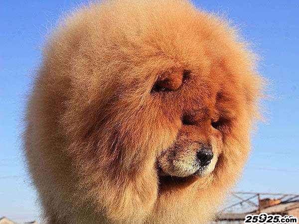松狮犬种母图片千足金 美系松狮犬图片 松狮犬图片 松狮图片