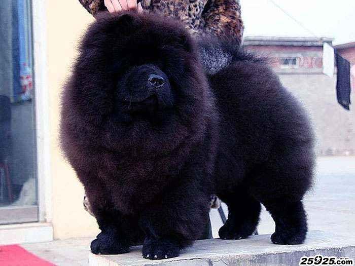 熊仔 黑色松狮犬种公图片 松狮犬图片 松狮图片