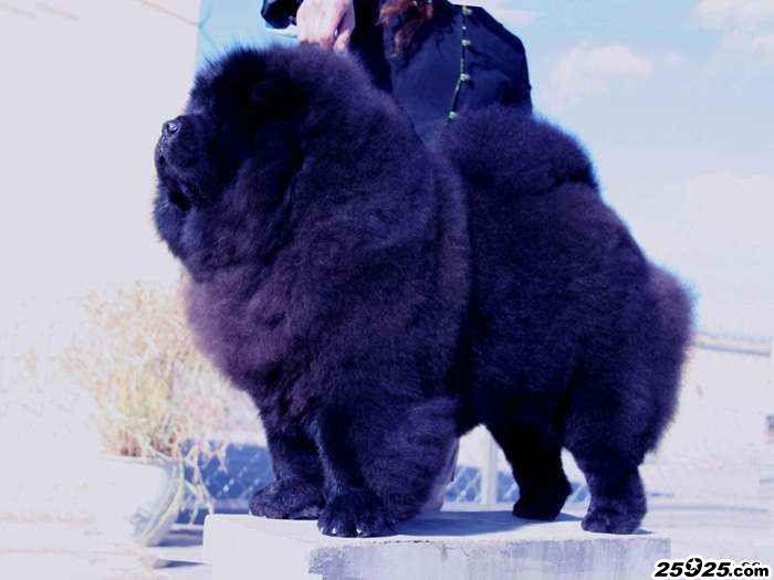 黑仔 黑色松狮种公图片 松狮图片 松狮犬图片图片