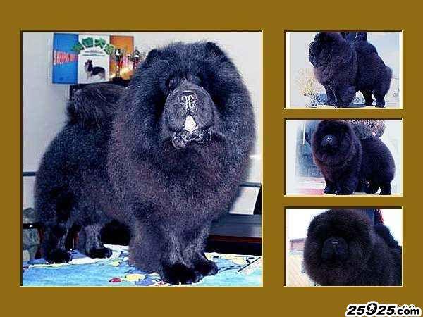 黑熊 黑色松狮种公图片 松狮图片 松狮犬图片图片