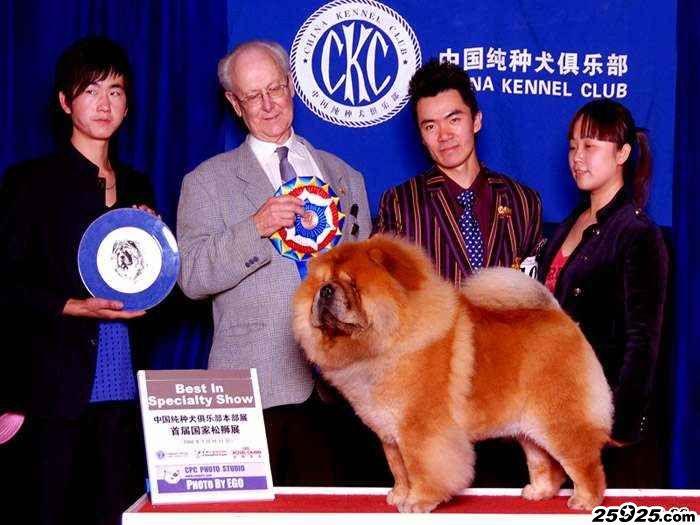 松狮犬种公图片FIRST CASH小现金美系松狮种公图片松狮犬图片松狮图