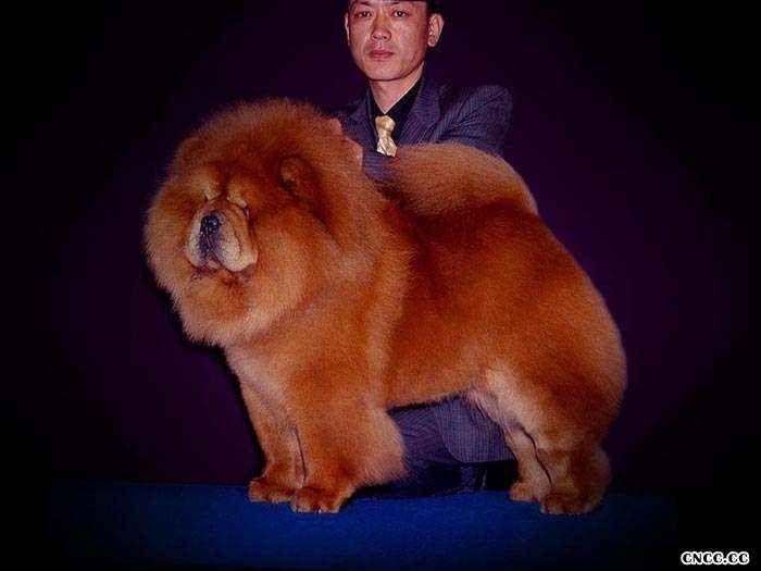 CASH现金美系松狮种公图片美国永久冠军松狮犬图片
