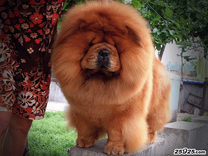 松狮冠军之父现金CASH种公松狮图片松狮犬图片