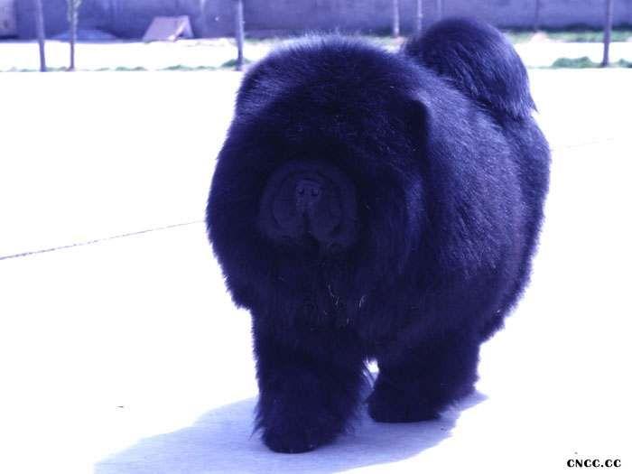 熊仔 纯种美系黑色松狮种公图片 松狮犬图片照片