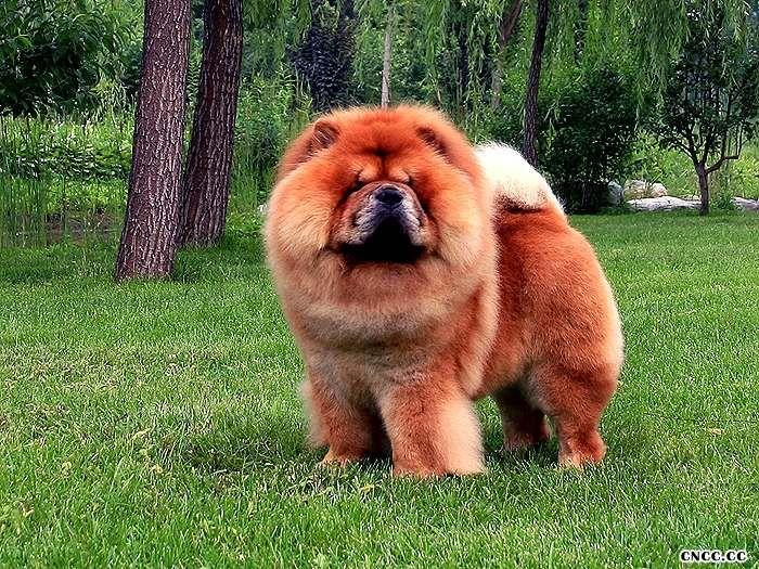 松狮犬种公图片小现金09年2岁半图片纯种美系红色松狮种公图片