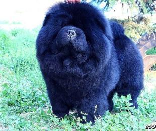 赛级种公黑色松狮犬牛牛图片 松狮犬图片图片
