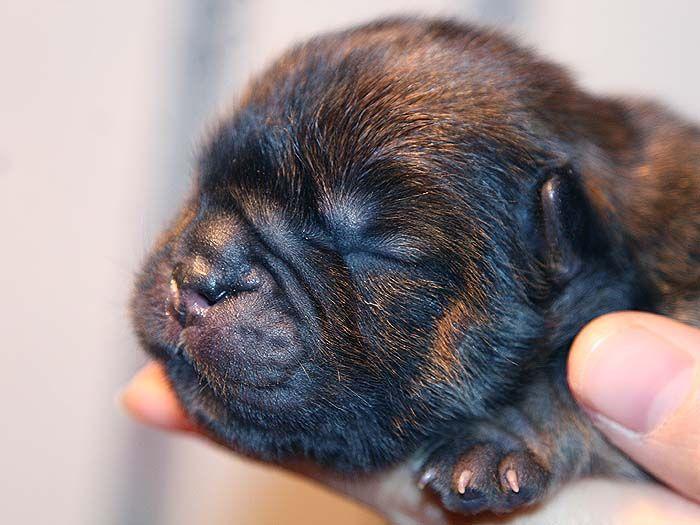 刚出生赛级纯种深红松狮犬的样子照片图片