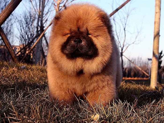 罕见深红纯种赛级松狮幼犬3月公图片图片