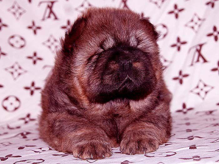 战神和神女儿红色松狮幼犬公40天照片 图片图片