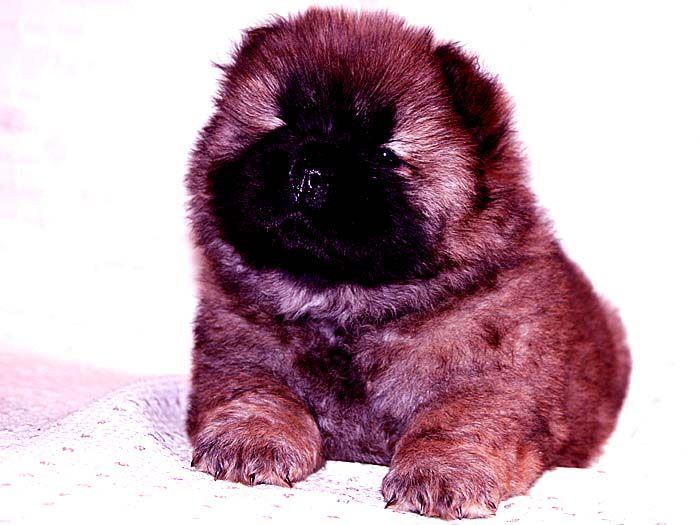 小现金和小贝的红色赛级纯种赛级松狮幼犬母图片