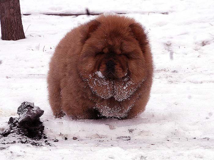 3个月战神儿子赛级红色纯种松狮幼犬雪地照片
