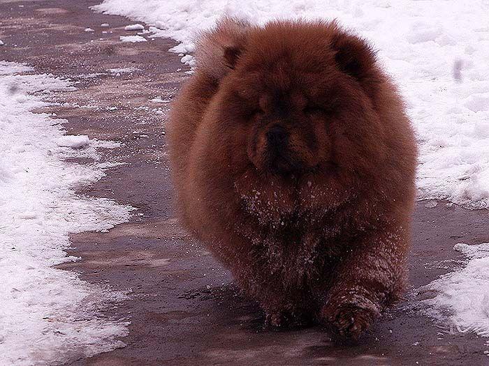 3个月战神女儿赛级红色纯种松狮幼犬雪地照片图片