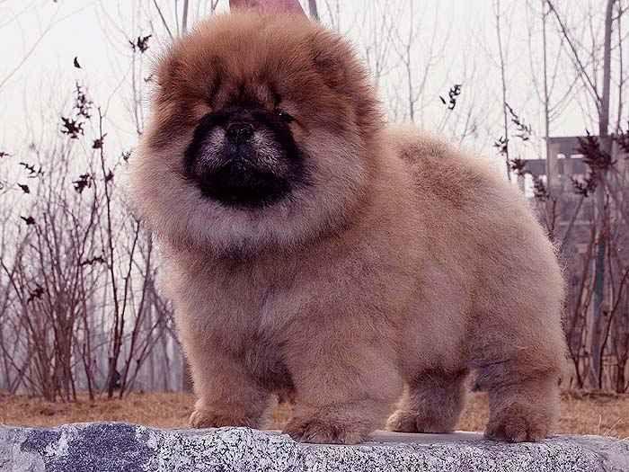 小现金儿子红色赛级纯种赛级松狮幼犬图片图片