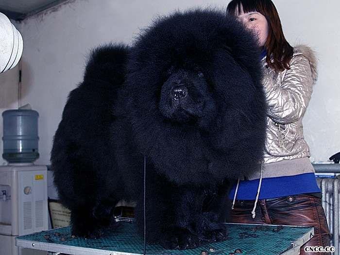 熊仔和茶玫瑰的黑色公犬 黑色松狮犬图片图片