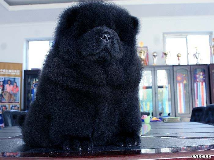 09年现金和皇后的赛级黑色冠军级松狮幼犬图片2图片