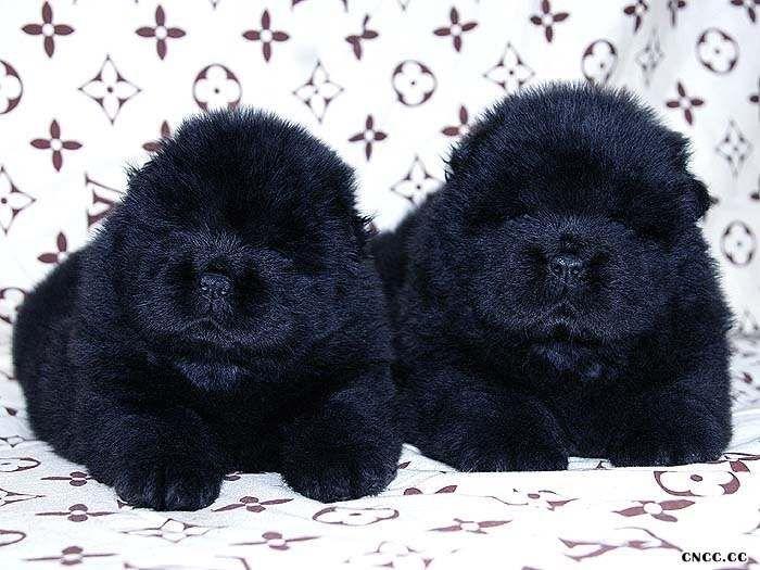 熊仔和六万黑色松狮幼犬满月照片黑色松狮犬图片图片
