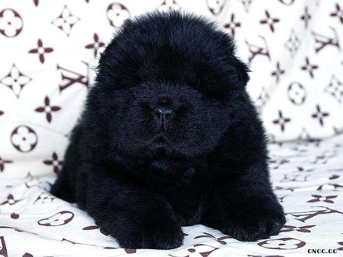 熊仔和六万黑色松狮幼犬满月照片黑色松狮犬图片