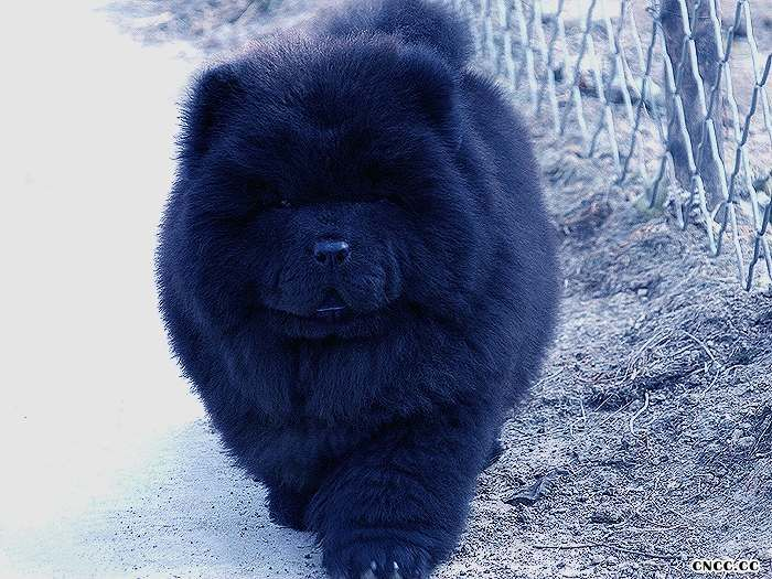 09熊仔和六万黑色松狮幼犬公犬图片黑色松狮图片图片