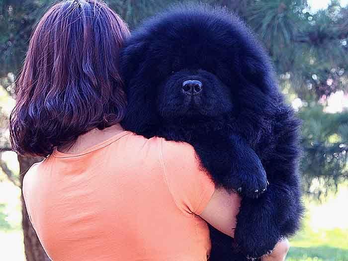 6个月站神和皇后的赛级赛级公黑色松狮犬图片图片