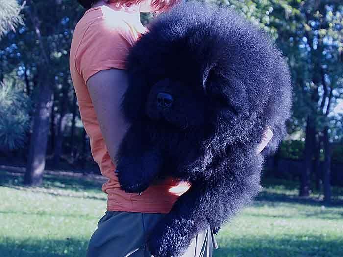 6个月站神和皇后的赛级赛级公黑色松狮犬图片