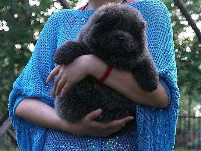 蓝色松狮犬图片45天松狮幼犬母蓝色松狮犬图片