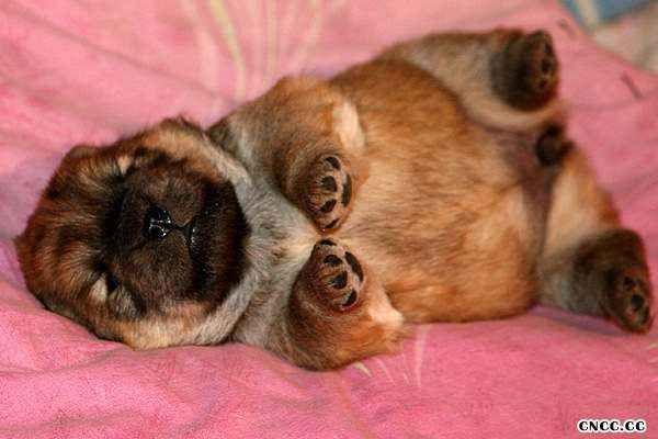 15天赛级松狮幼犬图片 松狮犬图片 松狮图片