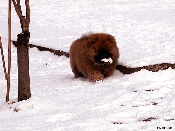 松狮犬幼犬图片战神和无敌2个月纯种美系松狮幼犬图片照片