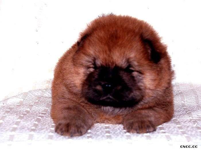纯种美系松狮犬满月图片纯种松狮照片