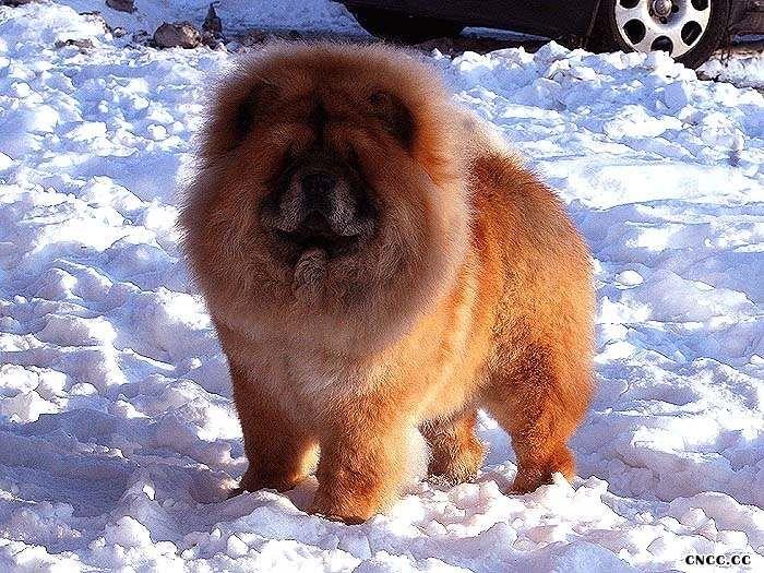 现金和飞儿的红色松狮图片松狮幼犬照片图片