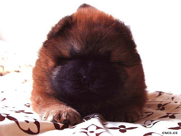 象现金CASH的公松狮幼犬图片CASH现金和钻石图片