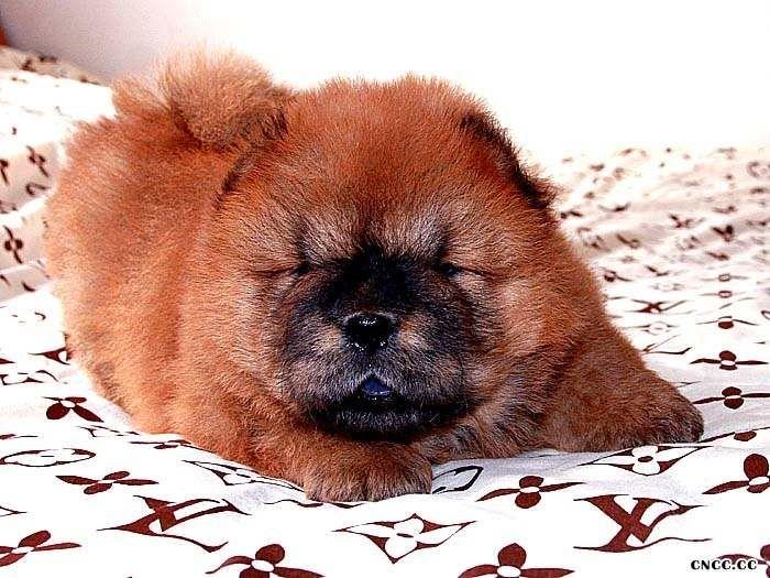 2公松狮幼犬图片CASH现金和钻石儿子
