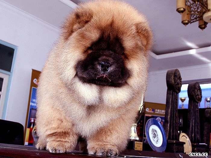 CASH和飞儿的公松狮犬幼犬图片图片