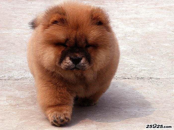 11年FIRST CASH和宝石的红色公松狮犬图片