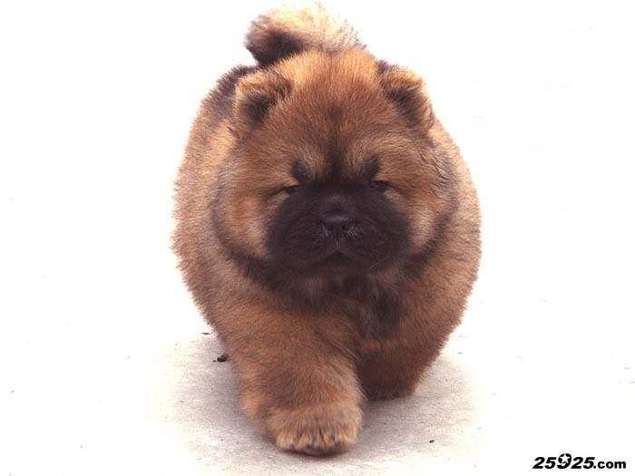 松狮犬美女Daisy图片图片