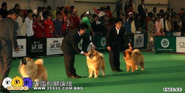 07年10月7日HOPE包揽FCI中国冠军展松狮总冠军BISS