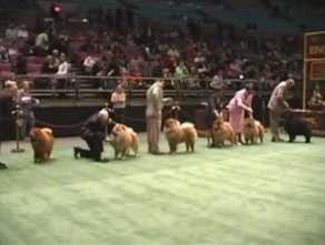 2004美国西敏寺松狮比赛视频AKC CHOW CHOW DOG SHOW