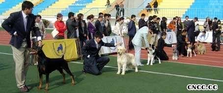 05年4月10日阿KING荣获松狮犬冠军BOB非运动组冠军BIG