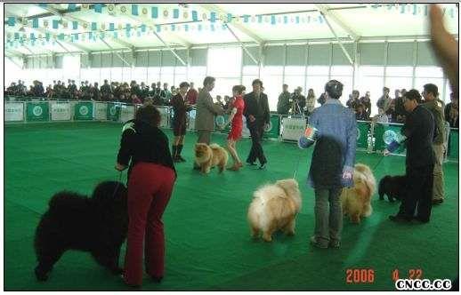 2006FCI全犬种中国冠军展松狮犬冠军FIRST SUNNY