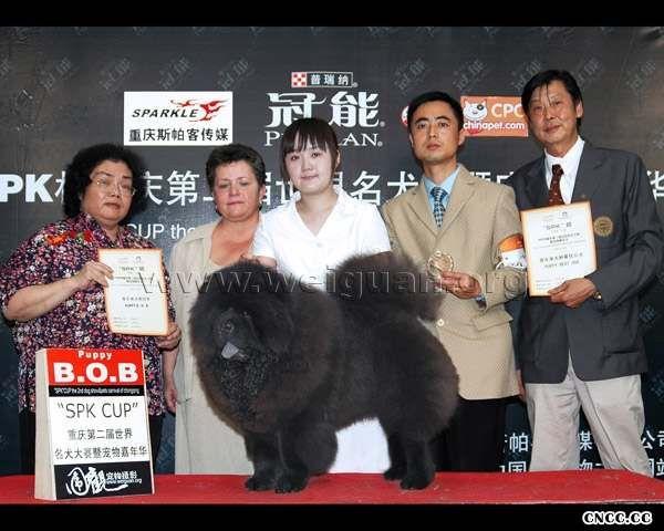2006重庆世界名犬大赛猩猩小子获松狮幼犬冠军