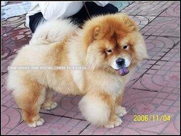 2006年11月4南京全犬种展松狮单独展获全场幼犬冠军