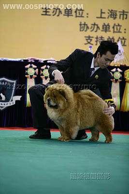 07年3月上海宠物嘉年华YOYO松狮单独展全场总冠军BISS