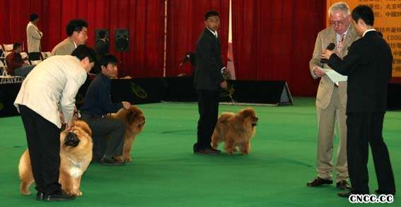 07.04.20小酸妞获第三届名将金项圈松狮单独展冠军BOB