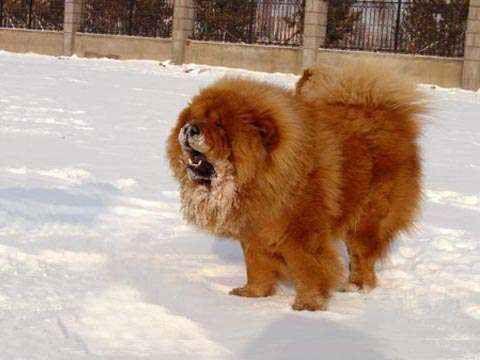 松狮犬介绍俄系松狮犬与美系松狮犬有什么区别