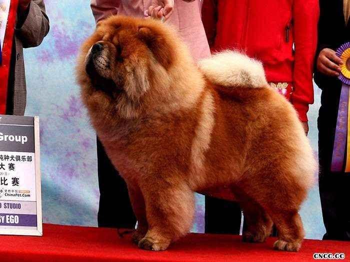 松狮犬(Chow Chow)AKC标准英文原版图片