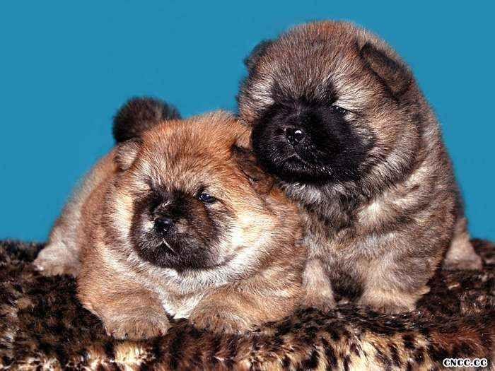 怎样挑选纯种松狮幼犬 赛级松狮幼犬的挑选方法图片