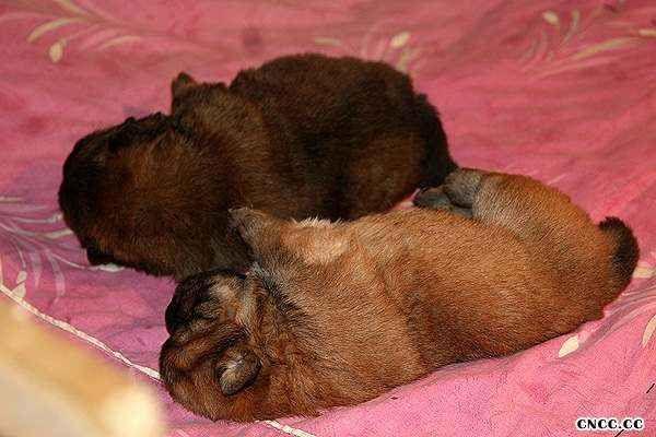 关于松狮犬的颜色和背毛怎样遗传图片
