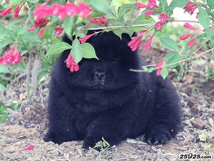 松狮性格 松狮犬性格 松狮的性格 松狮犬脾气图片