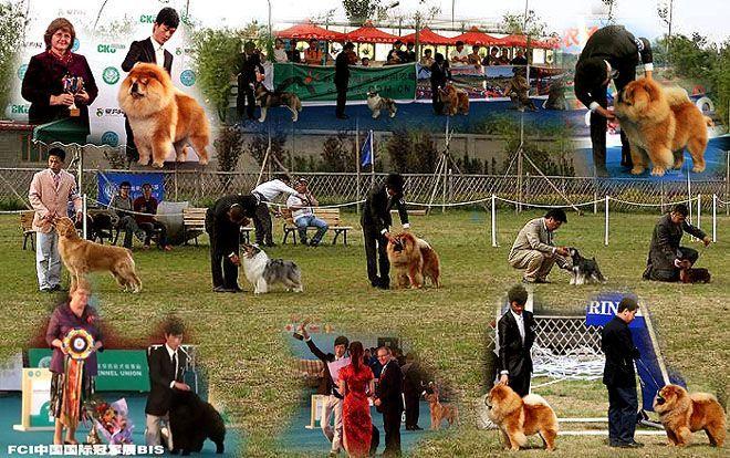调理DOG SHOW赛犬训练价格60元/天性格动态体型图片