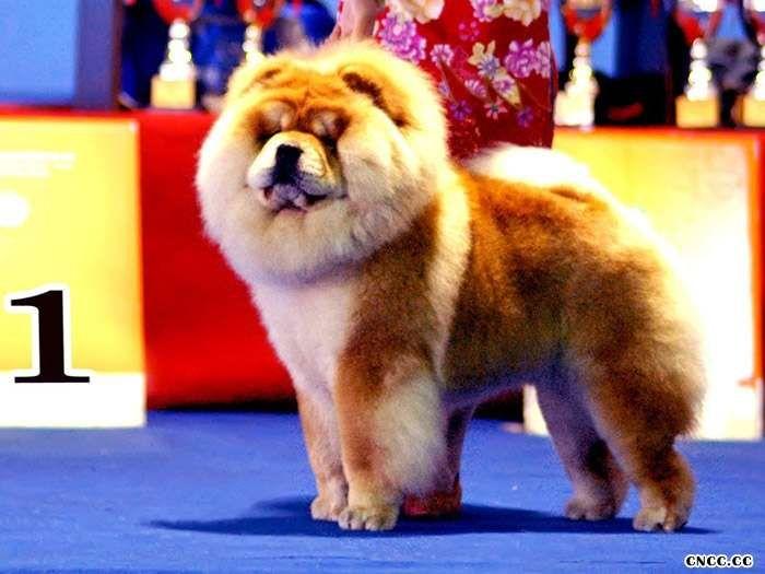 松狮冠军HOPE境内每年限量3次对外配种松狮犬配种价格20000元
